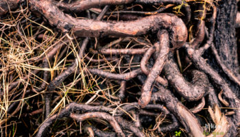 Roots interlacement